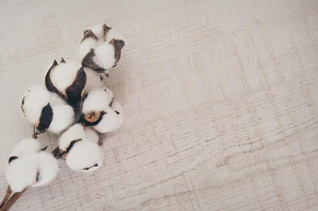 A branch of cotton. a blooming plant. material for sewing clothes made of natural materials. copy space on a white background