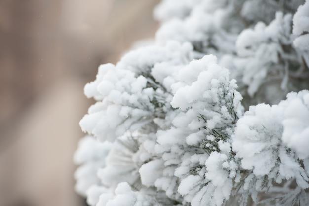 Ветвь покрыта белым снегом на естественном фоне. концепция зимней природы. сезонное поздравление и празднование праздников. иней на елке. рождество и новый год.
