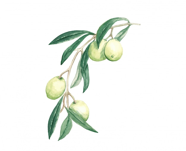 Branch decorative olives with fruits and leaves watercolor illustration