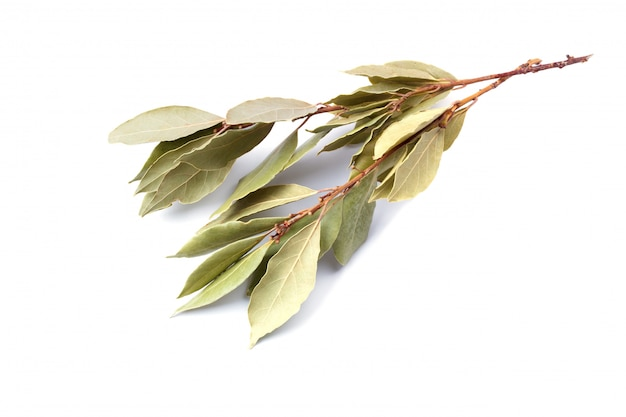 Branch of dry bay leaf