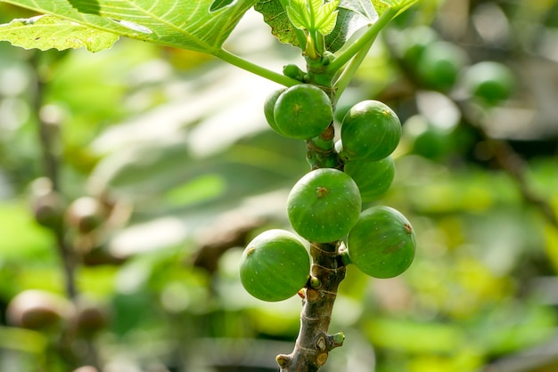 Branch of a fig tree (ficus carica) with leaves and fruits in various stages of ripening