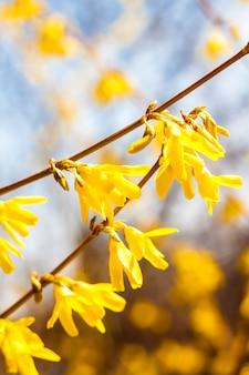 Branch of flowering forsythia closeup