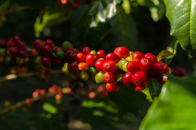Branch of fresh red coffee beans