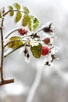 Branch of frozen dog-rose in a winter