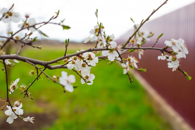 Branch of a fruit tree with white delicate flowers and young leaves in the garden