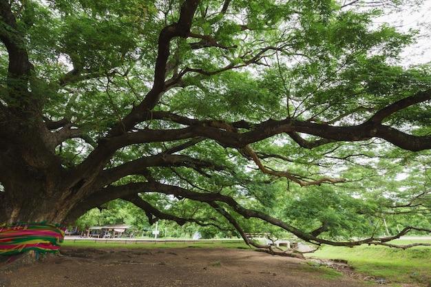 Branch of giant monky pod tree in kanchanaburi, thailand