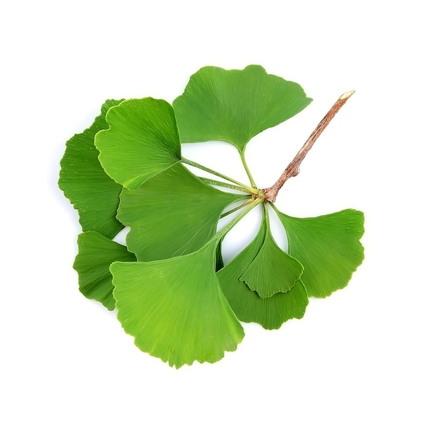 Branch ginkgo biloba isolated on white