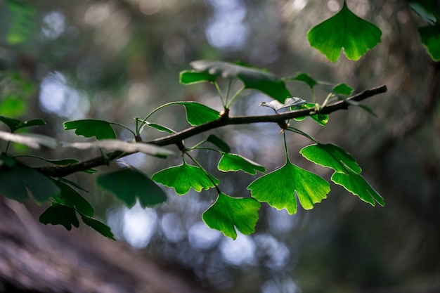 Branch of ginkgo biloba with young leaves against blur background.