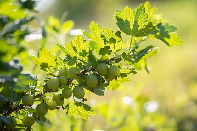 Branch of green gooseberry in the garden