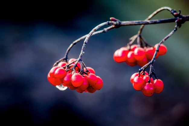 Branch of a  guelder rose on dark