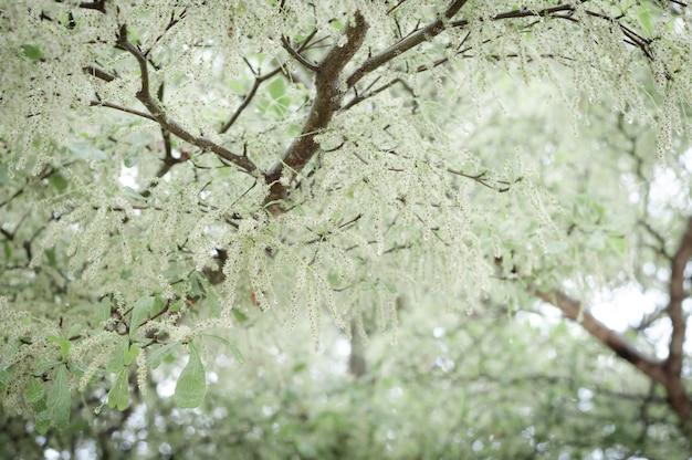 Branch of ivory coast almond tree