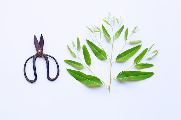 Branch and leaves of eucalyptus with vintage scissors on white