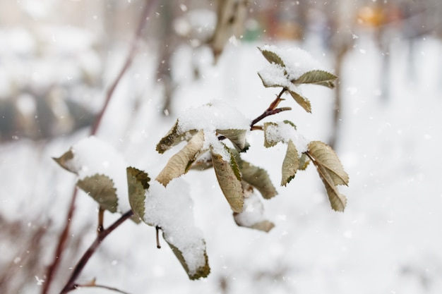 Branch and leaves of rosehip covered with snow and ice in winter