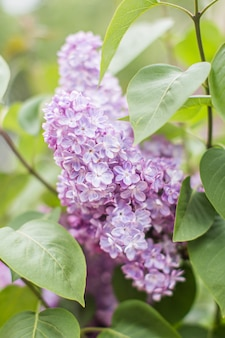 Branch of lilac flowers with the leaves, close up, vertical.