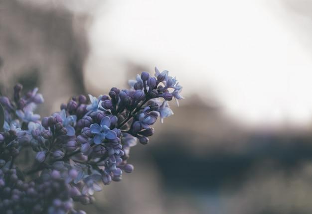Branch of lilac melancholic background