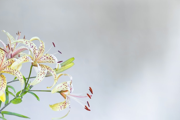 Branch of lily on white  background