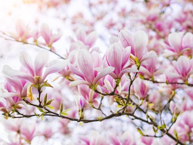 부드러운 빛에 분기 목련 핑크 피 나무 꽃