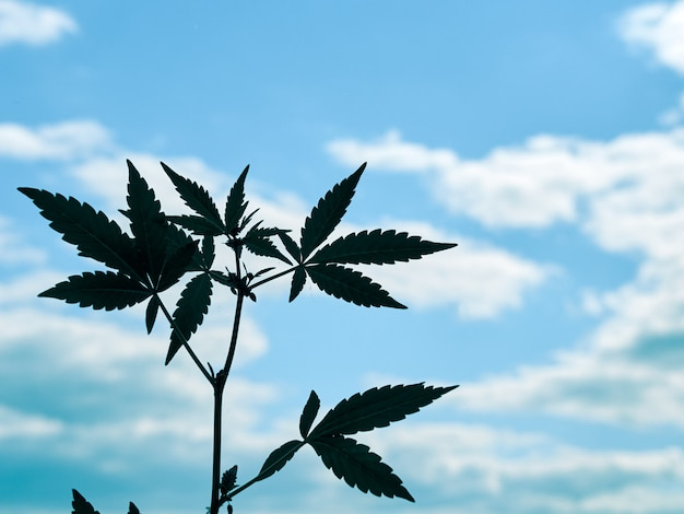 Branch of male cannabis plant.