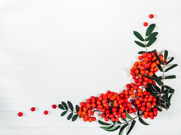 Branch of mountain ash and red berries