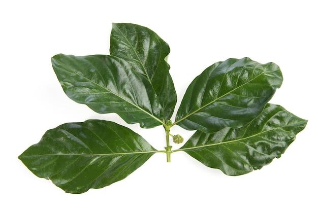 Филиал нони фрукты и зеленые листья, изолированные на белом фоне. вид сверху, плоская планировка.