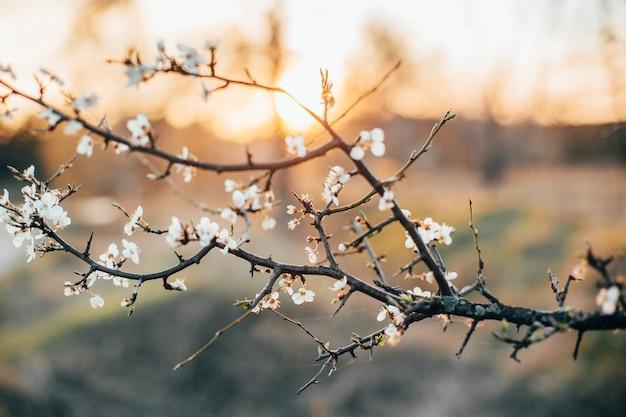 日没時のクローズアッププランで咲くリンゴの木の枝