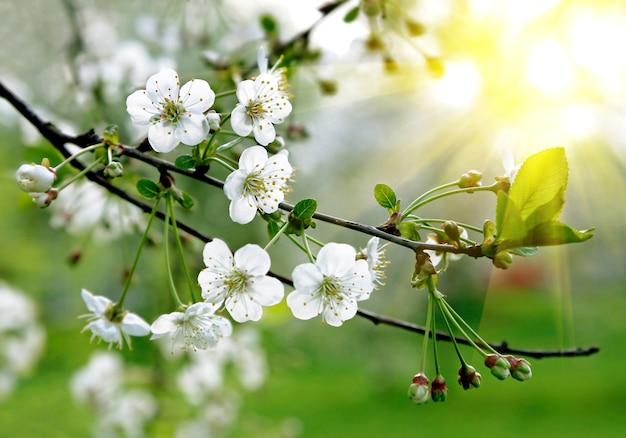 아름다운 흰 꽃이 만발한 나무의 가지