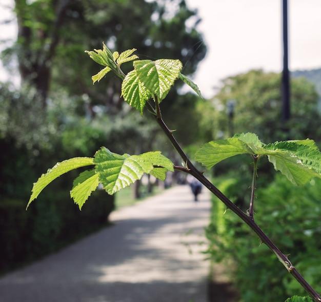 가르다와 바르돌리노 사이 보행자 도로에 가시가 있는 식물의 가지