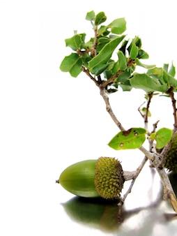 Ветвь quercus coccifera (дуб) с несколькими желудями, изолированных на серебристо-белом фоне.