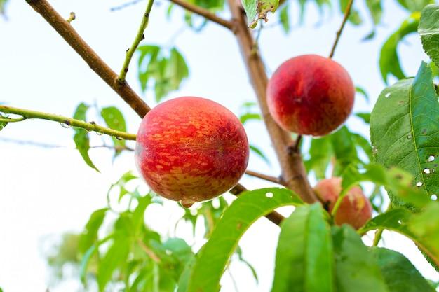 熟した赤いジューシーなフルーツと桃の木の枝