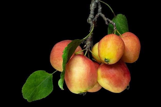 熟した赤黄色のリンゴとリンゴの木の枝。秋の果実。黒の孤立した背景。