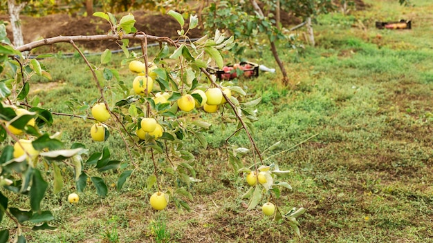 果樹園の新鮮なジューシーでおいしい熟したリンゴでいっぱいのリンゴの木の枝。秋の収穫りんごの収穫
