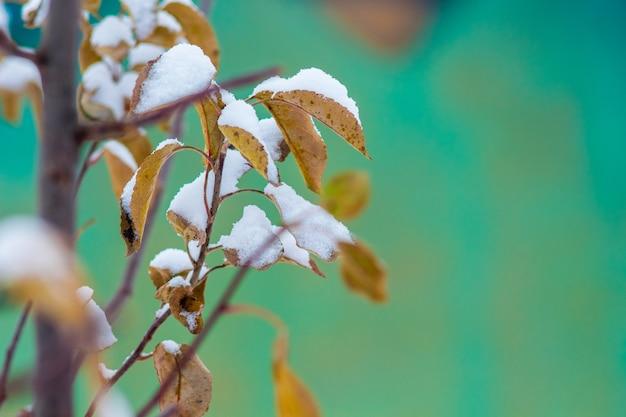 乾燥した茶色の葉を持つリンゴの木の枝、雪で覆われ、text_のための空きスペース