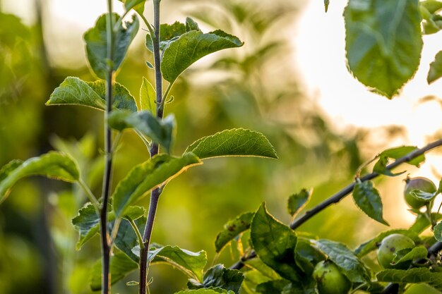日没時に太陽光線で葉を持つリンゴの木の枝_