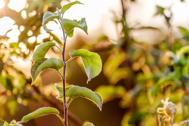 日没時に緑の葉を持つリンゴの枝