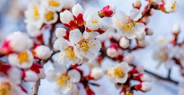 明るい晴れた日に花が咲くアプリコットの枝