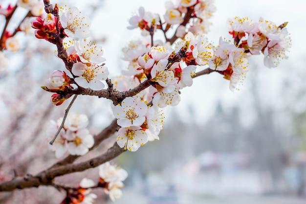 水色のぼやけた花とアプリコットの枝