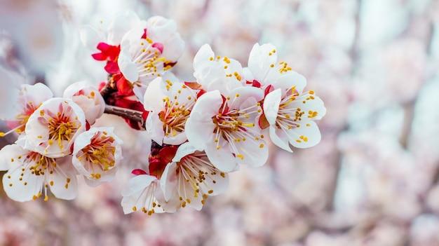 明るいぼやけた花とアプリコットの枝