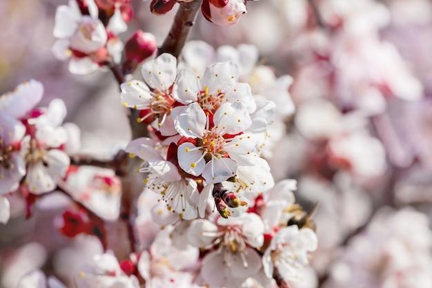 白い花とアプリコットの枝。春の木の開花