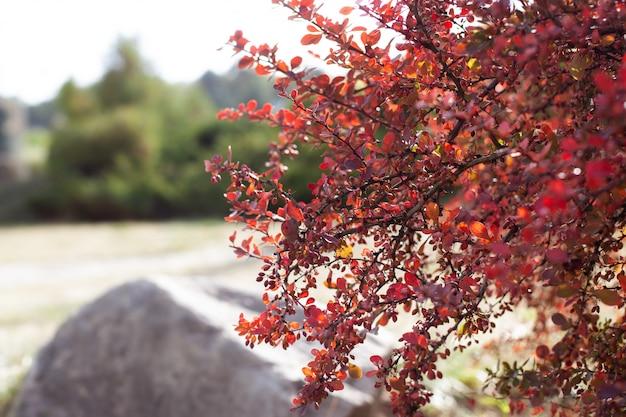 Ветка осеннего куста барбариса с красными листьями и ягодами