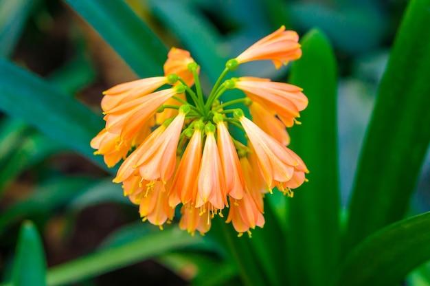 美しいオレンジ色のユリズイセン科の花の枝
