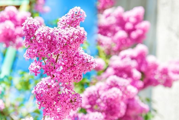 緑の葉を持つ茂みの美しい紫色のライラックの花の枝