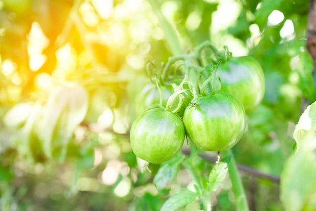 茂みに生えている大きなグリーントマトの枝
