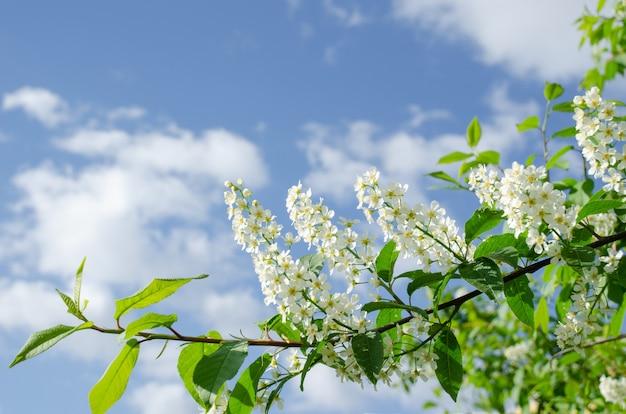 Ветвь черемухи перед голубым небом. копировать пространство день матери, весенняя концепция.