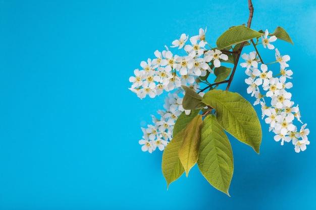 Филиал цветущей черемухи prunus padus на синем