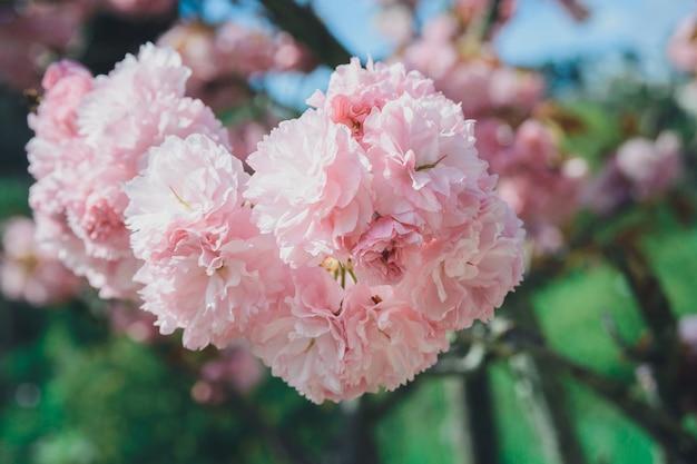 庭の花ピンクチェリーまたは桜の枝。