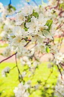 開花するリンゴの木の枝