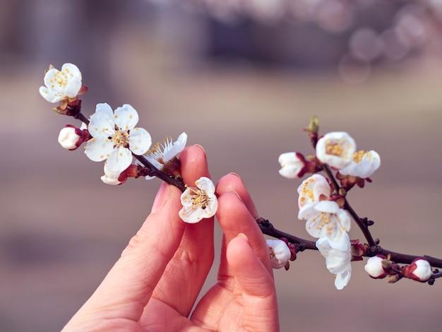 手に咲くアプリコットの枝。