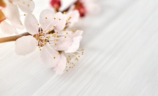 Филиал цветущих цветов сакуры