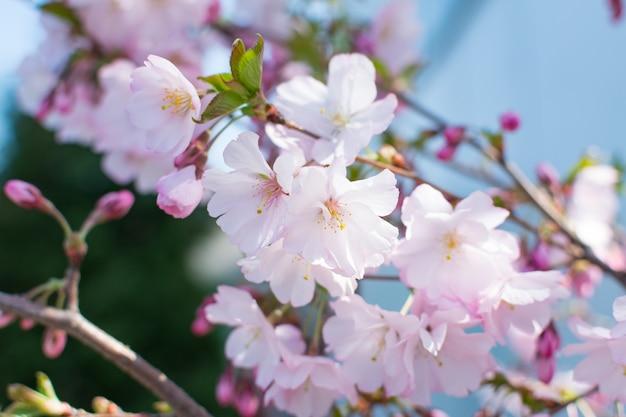 春の庭に咲く桜の枝
