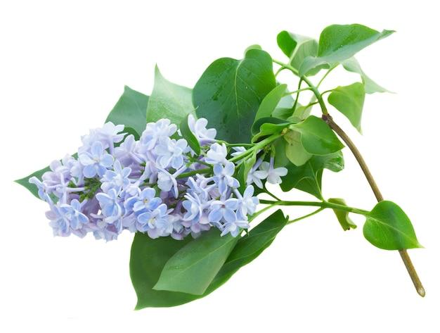 白い背景で隔離の緑の葉を持つ青い新鮮なライラックの花の枝